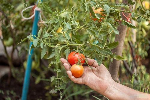 Làm thế nào để trồng cà chua đơn giản mà nhiều trái
